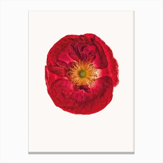 Poppy III Canvas Print