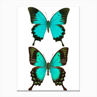 Two Bright Blue Butterflies 2 Canvas Print