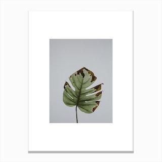 Leaf in Grey Box Canvas Print