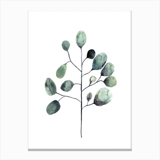 Botanical Illustration   Tasmanian Blue Gum Canvas Print