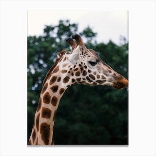 Wild Giraffe Canvas Print
