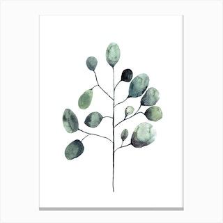 Botanical Illustration   Tasmanian Blue Gum Canvas Print