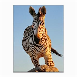 Zebra Action Color Canvas Print