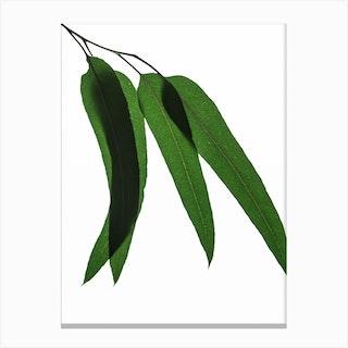Green Leaf III Canvas Print