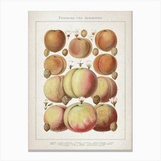 Vintage Meyers 6 Pfirsiche und Aprikosen Canvas Print