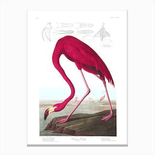 American Flamingo I Canvas Print