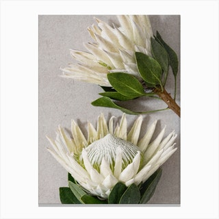 White Protea Flowers Canvas Print