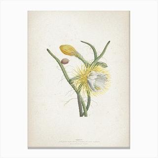 Vintage Ehret 1 Cereus Gracilis Canvas Print