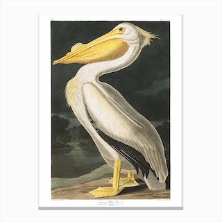 American White Pelican Canvas Print
