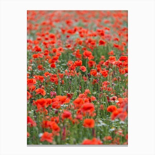 Field of Poppies 1 Canvas Print