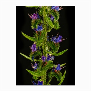 Echium Flower Canvas Print