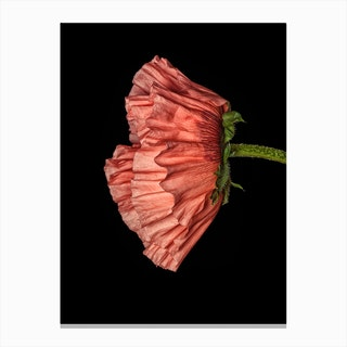 Poppy Pink 04 Canvas Print