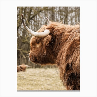 Highland Cow In Holland Canvas Print