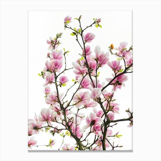 Pink Magnolia Branches Canvas Print