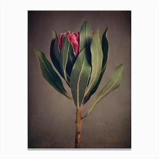 Red Protea 2 Canvas Print