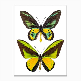Two Green And Yellow Butterflies Canvas Print