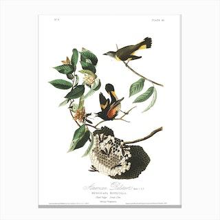 American Redstart Canvas Print