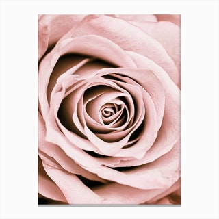 Blush Rose Canvas Print