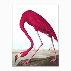 American Flamingo II Canvas Print