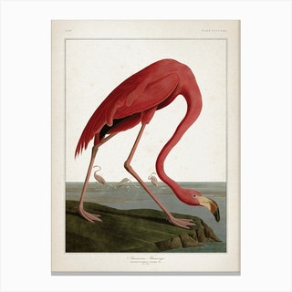 Vintage Audubon 1 American Flamingo Canvas Print