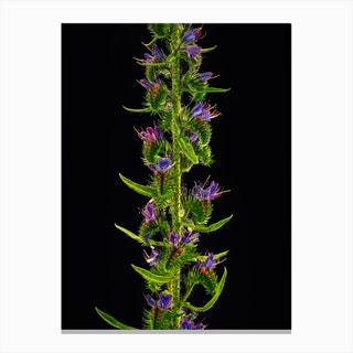 Echium Flower Detail Canvas Print