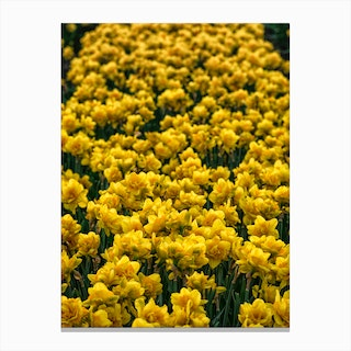 Field of Narcissus Canvas Print