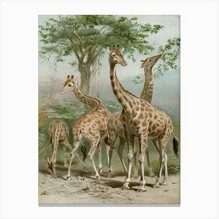 Vintage Brehm 1 Giraffe Canvas Print