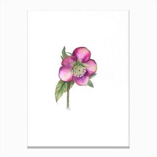 Hellebore In Pink Canvas Print