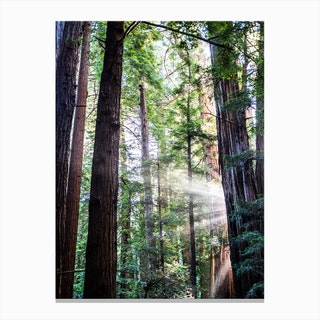 Muir Woods Canvas Print