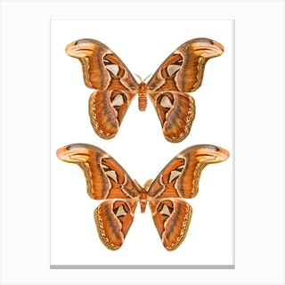 Two Butterflies And Moths Canvas Print