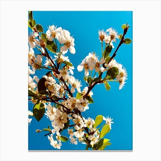 Under Cherry Blossom Canvas Print