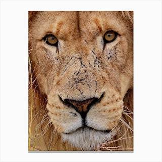 Lion Face Color Canvas Print