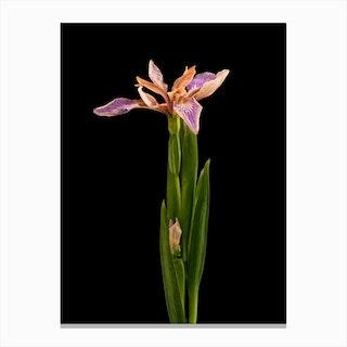 Flower Wild Iris Canvas Print