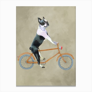 Boston Terrier On Bicycle Canvas Print