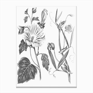 Annual Lavatera Blue Lathyrus Canvas Print