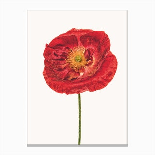 Poppy V Canvas Print