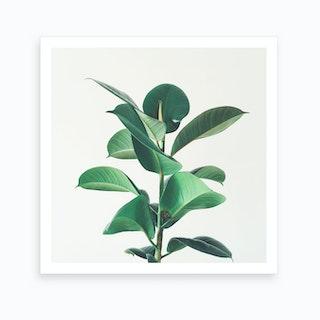 Rubber Fig Art Print
