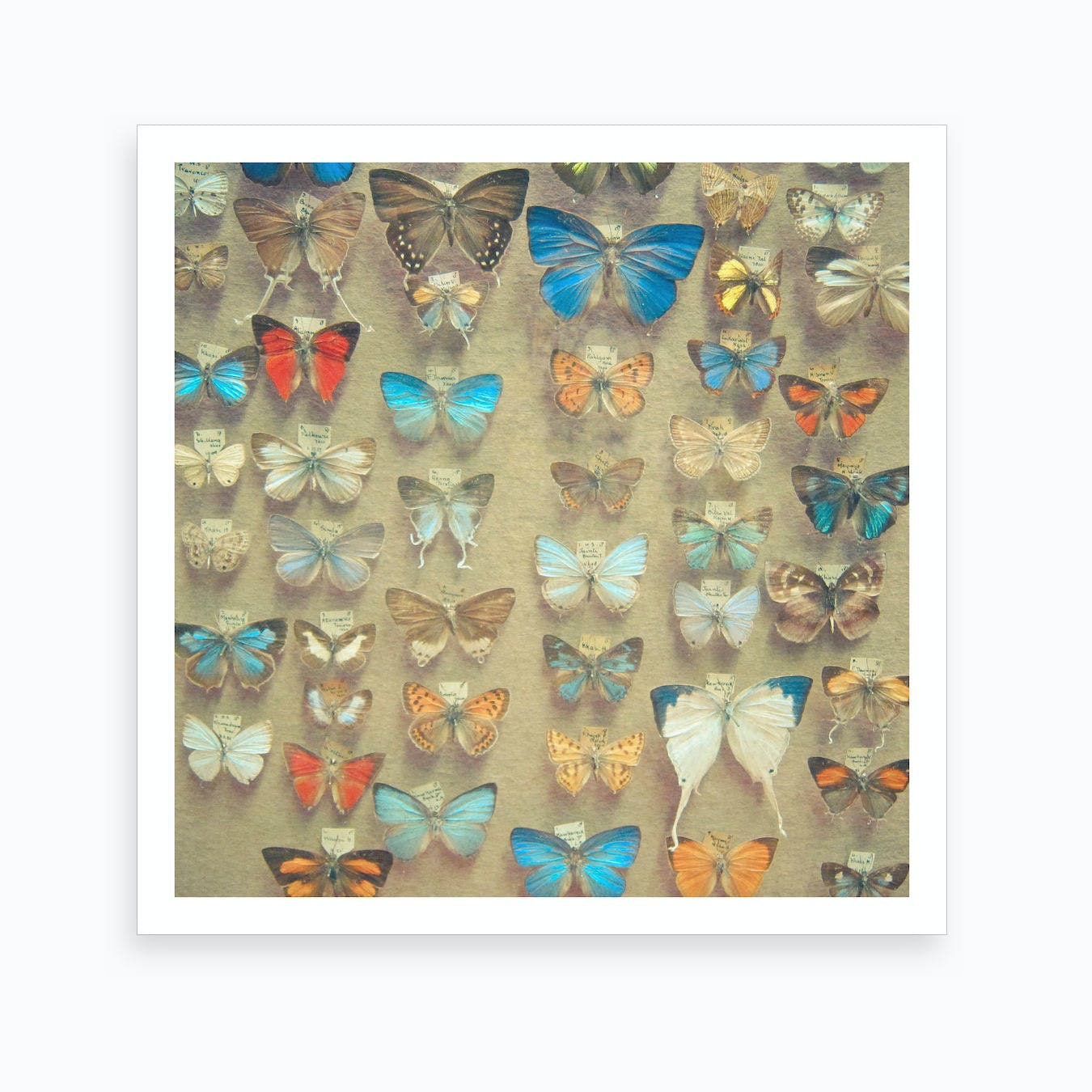 The Butterfly Collection Print