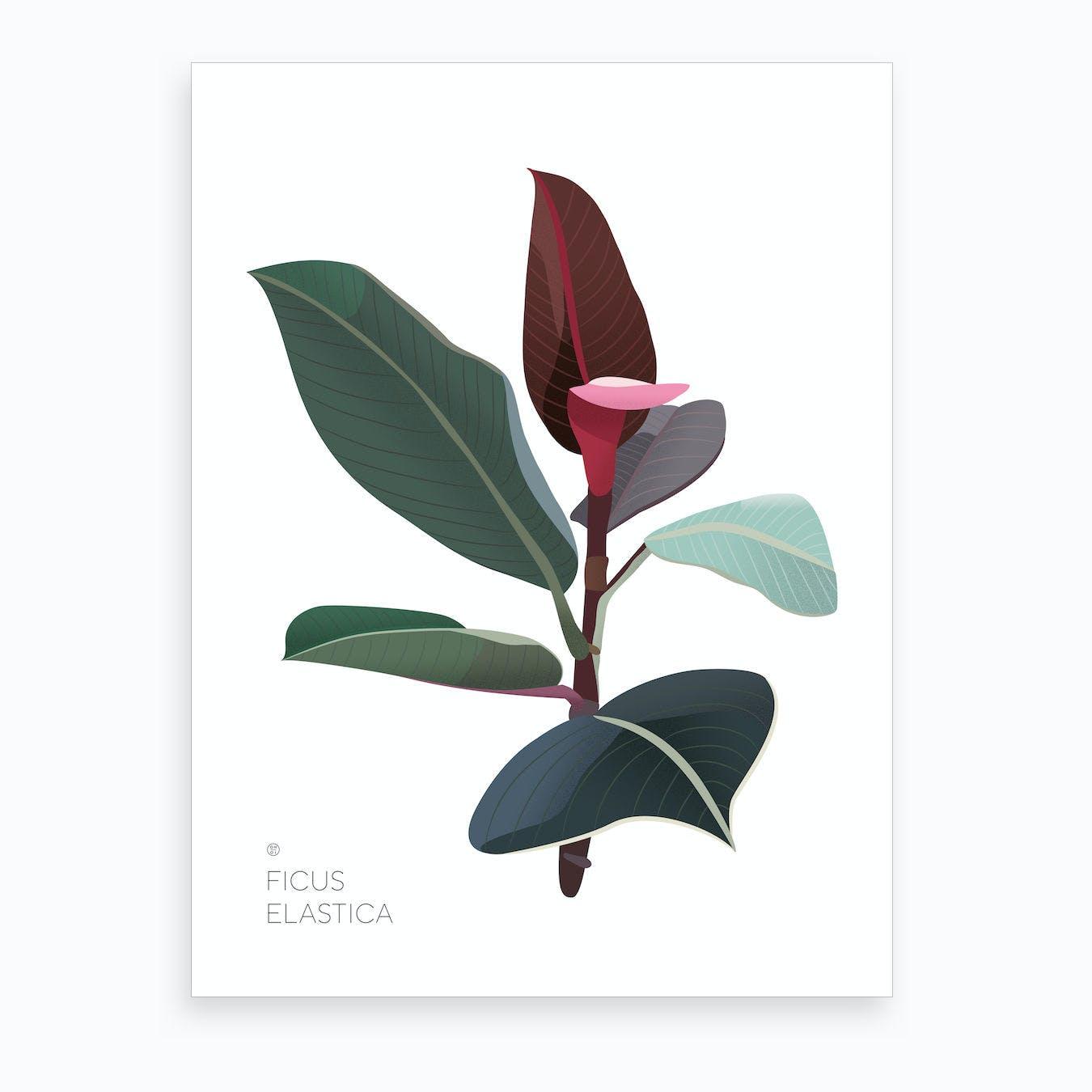 Ficus Elastica Art Print