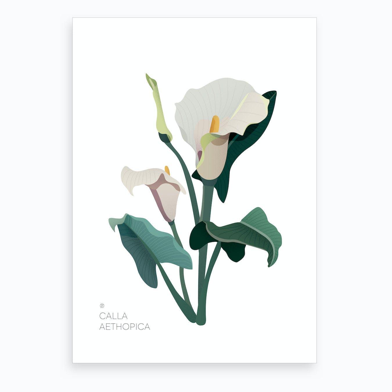 Calla Aethopica Art Print