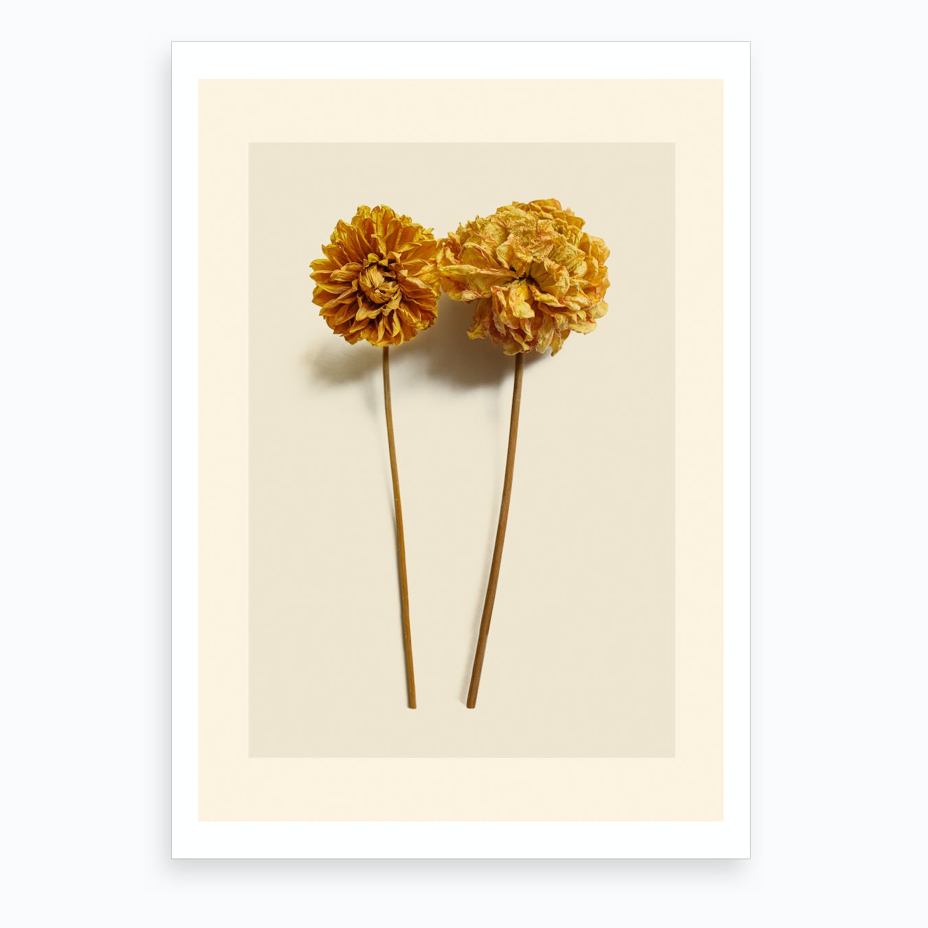Yellow Dahlia II Art Print