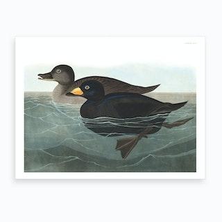 American Scoter Duck Art Print
