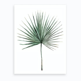 Botanical Illustration   Fan Palm Art Print