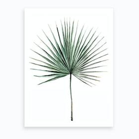 Botanical Illustration   Fan Palm Art Print