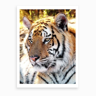 Tiger Portrait Art Print