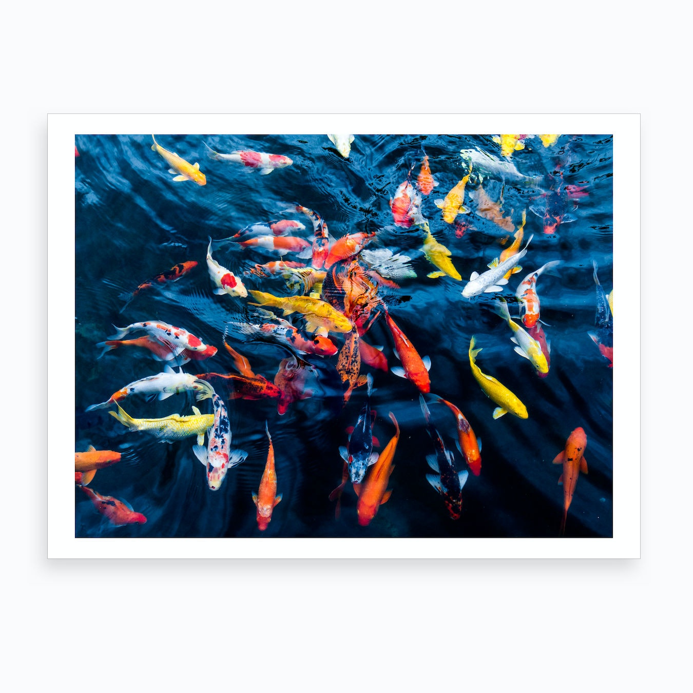 Koi Carp Art Print By Scott Dunwoodie Prints Fy