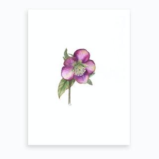 Hellebore In Pink Art Print