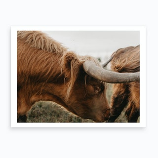 Grazing Highland Cow Art Print