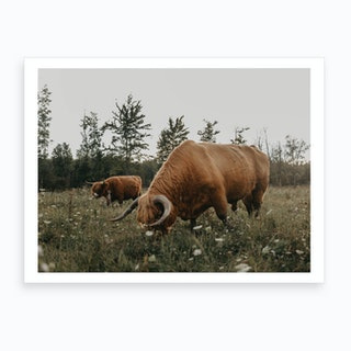 Highland Cows On The Farm Art Print