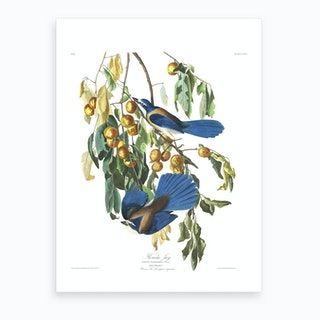 Florida Jay Art Print